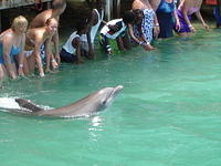 Some folks get to touch the dolphins at Dolphin Cove in Jamaica.